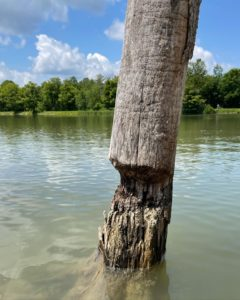 beaver-gnawed log
