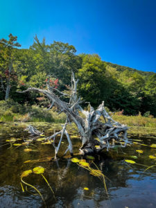 Roots at Labrador Pond